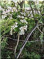 TF0820 : Hawthorn in hedgerow - 38 by Bob Harvey