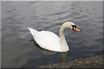 NS2209 : Swan at the Swan Pond, Culzean Country Park by Billy McCrorie