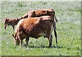 NZ1152 : Cows and a calf at Berry Edge Farm by Robert Graham