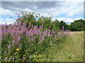 TQ5740 : Rosebay willowherb on St John's Meadows by Marathon