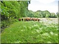 SU0405 : Holt, cattle grazing by Mike Faherty