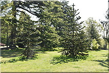 TQ5939 : Monkey Puzzle trees, Dunorlan Park by N Chadwick