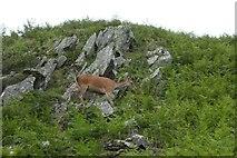 NY3404 : Deer on Lad crag by DS Pugh