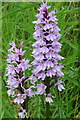 NU0300 : Orchid flowers near Great Tosson by Andrew Curtis