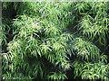 NT2076 : Willow-leaf Podocarp - foliage by M J Richardson