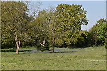 TQ5839 : Bluebells, Calverley Park by N Chadwick