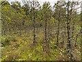 NH5753 : Monadh Mòr Bog Forest by valenta