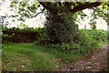 SX8563 : Ash tree by Loventor Lane by Derek Harper