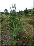 NJ0847 : Pine Species by Anne Burgess