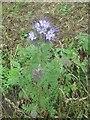NZ2472 : Purple Tansy (Phacelia tanacetifolia) near Weetslade Country Park by Geoff Holland