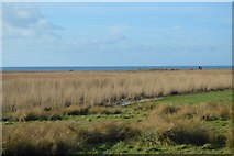 SY5088 : Reeds behind Cogden Beach by N Chadwick