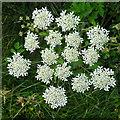 NJ4048 : Hogweed (Heracleum sphondylium) by Anne Burgess