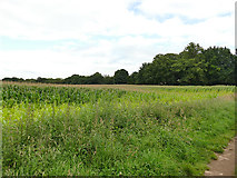 SJ8255 : Maize field north of All Saints church by Stephen Craven