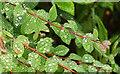 SX9066 : Raindrops on snowberry, Barton Hill Way by Derek Harper