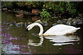 SD4314 : Trumpeter Swan at Martin Mere Wetland Centre by David Dixon