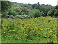 NZ3376 : Common Ragwort, Holywell Dene by Geoff Holland