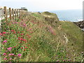 NZ3376 : Red Valerian, Rocky Island, Seaton Sluice by Geoff Holland