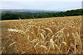 NZ1366 : Wheat (and the odd barley), awaiting the combine by Andrew Curtis