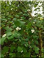 TF0820 : White berries by Bob Harvey