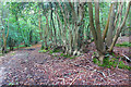 TQ8619 : Old Coppice in Spouts Wood by Des Blenkinsopp