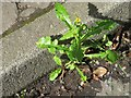 NT2470 : Prickly Sow Thistle - Sonchus asper by M J Richardson