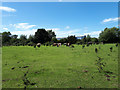 SP3007 : Long-horned cattle grazing near RAF Brize Norton by Vieve Forward