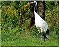 SD4213 : Common Crane at Martin Mere Wetland Centre by David Dixon
