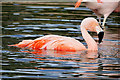 SD4314 : Chilean Flamingo (Phoenicopterus chilensis) at Martin Mere by David Dixon