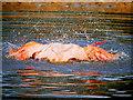 SD4314 : Splashdown in the Flamingo Pool by David Dixon