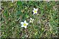 NJ0133 : Fairy Flax (Linum catharticum) by Anne Burgess