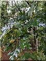 TF0820 : Wet oak leaves by Bob Harvey