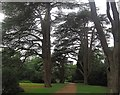 SK6274 : Large cedar trees in Clumber Park by Graham Hogg