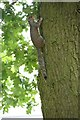 SE3154 : Grey Squirrel in the grounds of St Aidan's High School, Harrogate by Graham Robson
