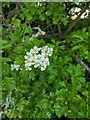 TF0820 : Hawthorn in hedgerow - 39 by Bob Harvey