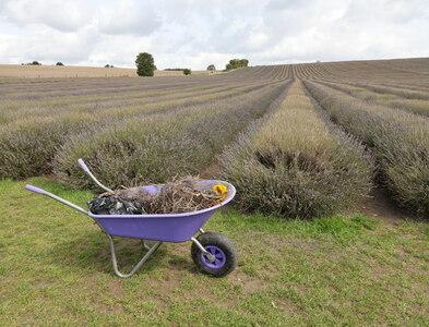 TL1932 : Hitchin Lavender Fields by Christine Matthews