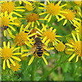 NT2469 : Hoverfly on Ragwort flowers by M J Richardson