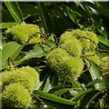 SK6954 : Ripening chestnuts by Alan Murray-Rust