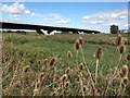 TL5478 : Teasels near the Ely southern bypass by Richard Humphrey