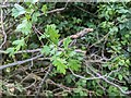 TF0820 : Hawthorn in hedgerow - 41 by Bob Harvey