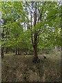 TF0820 : Minimal undergrowth by Bob Harvey