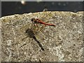 SO8953 : A common darter dragonfly  by Philip Halling
