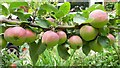 SO6023 : Immature apples, July 2020 by Jonathan Billinger