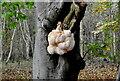 ST8186 : Fungi on Beech Tree, Bull Park Wood, nr Didmarton, Gloucestershire 2016 by Ray Bird