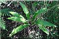 NS2301 : Hartstongue (Asplenium scolopendrium) by Anne Burgess