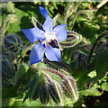 NX0985 : Borage (Borago officinalis) by Anne Burgess