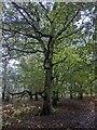 TF0821 : Autumn Oak by Bob Harvey