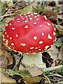 SU8936 : Hindhead Common - Fly Agaric by Colin Smith