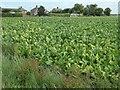 TF2919 : Sugar beet, south of Thorpe Avenue by Christine Johnstone