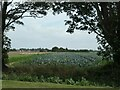 TF3023 : Cabbage field, east of the B1357, Moulton by Christine Johnstone