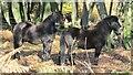 SU8937 : Exmoor Ponies by Colin Smith